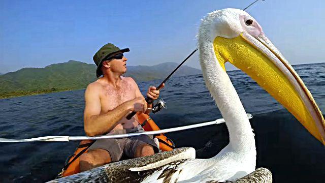 pelican0