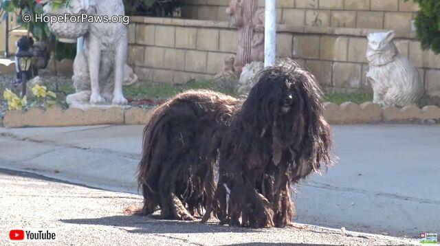 Hope For Paws~さあこれでサッパリしたよ!放浪中の2年間毛が伸び放題だった犬のビフォア・アフター