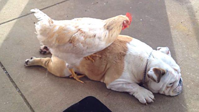 chickenmassage2