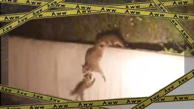 raccoon 2ok-frame