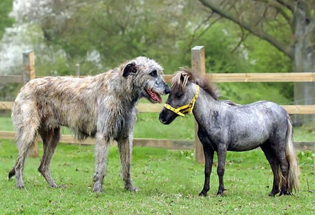 funny-irish-wolfhounds-4-5c18d38dcf9ec__700_e