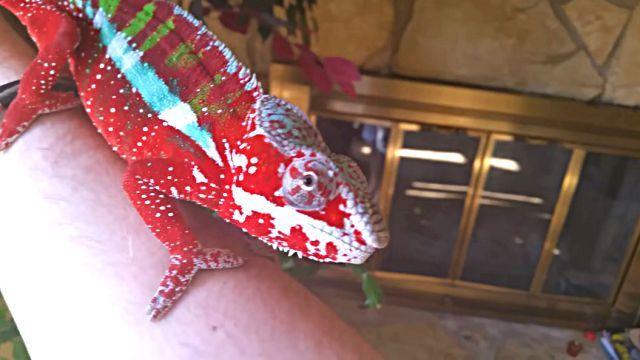 chameleon0