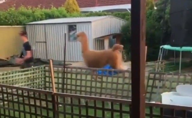 alpaca3_e