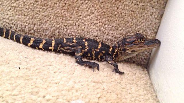babyalligator2