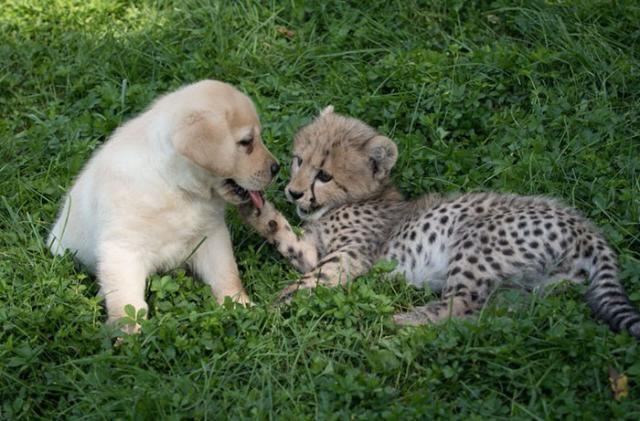 cheetah-4 [www.imagesplitter.net]
