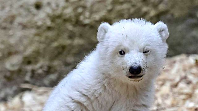 winking-polar-bear-cub-germany-1-58b7ce24656e6__880_ea
