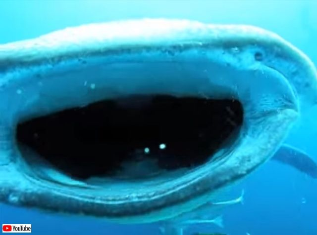 whalesharkattack4_640