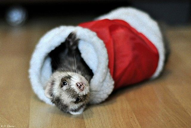 Christmas-Comes-to-Fife-Ferret-Rescue-l_e