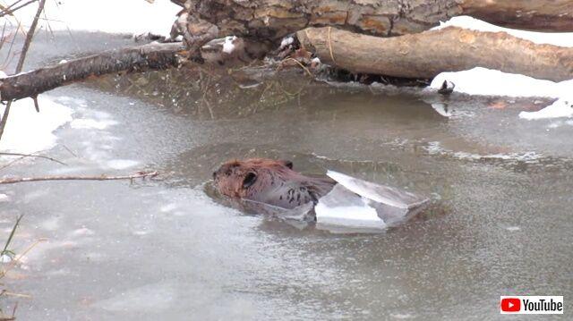 beaverbreaks6_640
