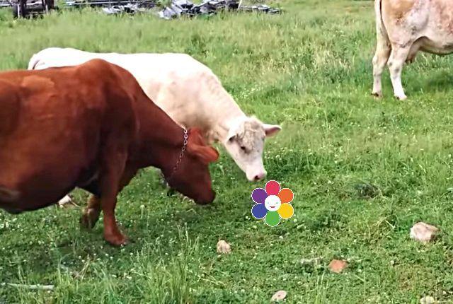 cowturtle7