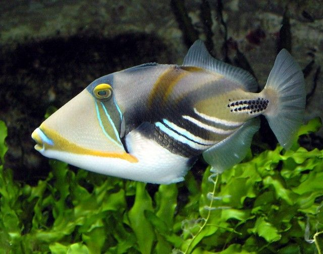 Trigger-Fish_e