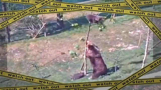 bearcub1-frame