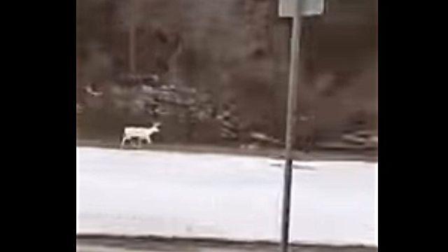 whitedeer1
