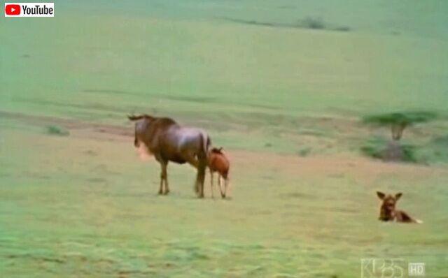 wildebeestmom0_640