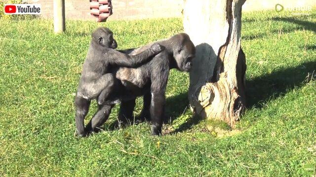 gorillas4_640