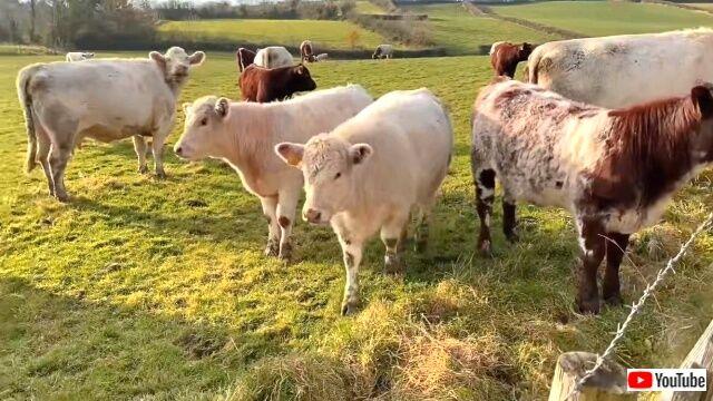 cowsbroke3_640