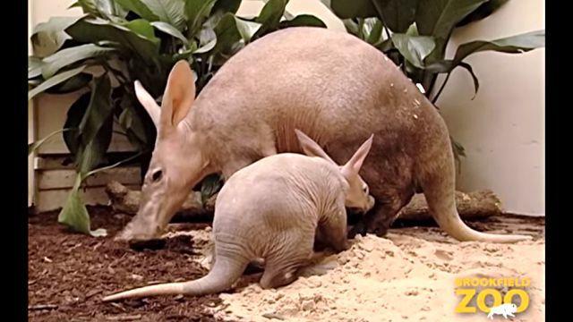 Aardvark5