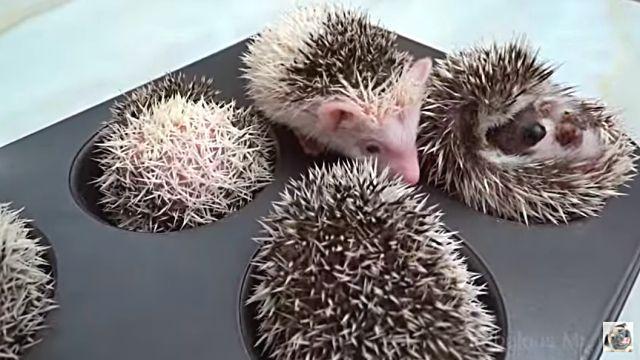 HedgehogMuffins3