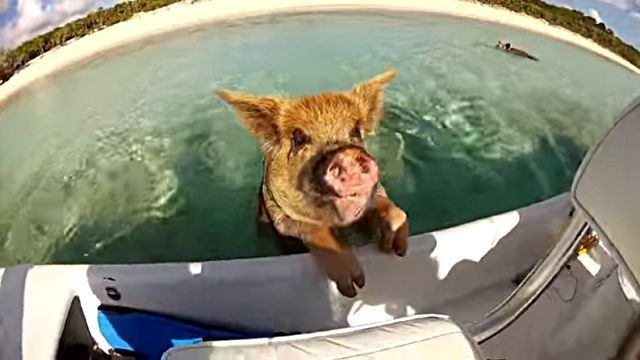 swimmingpig3