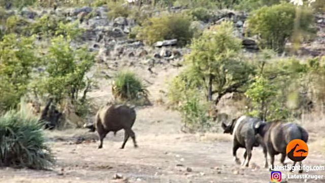 Buffaloes4