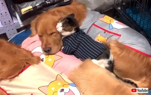 kittenwgoldens0_640