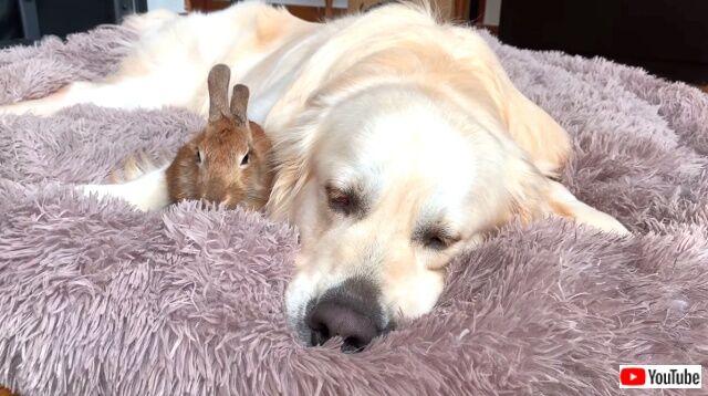 rabbitsngolden8_640