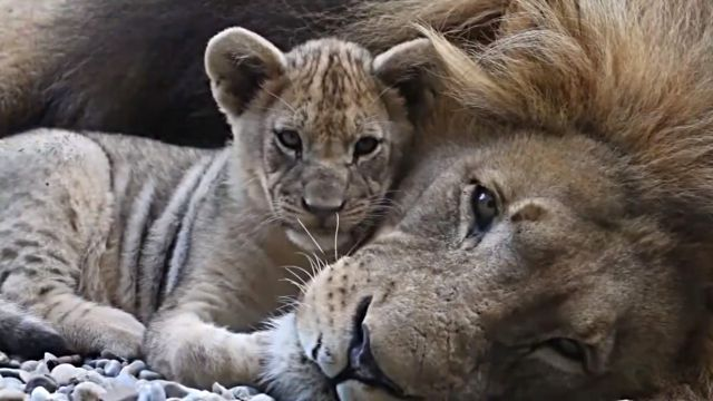 liondaddy0