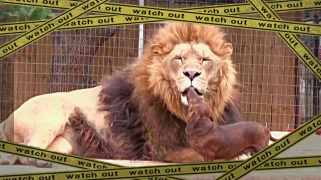 liondog1-frame