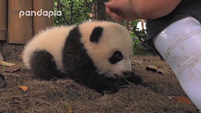 pandafirststep1
