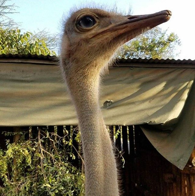 ostrich-snuggles-orphaned-elephants-2_e