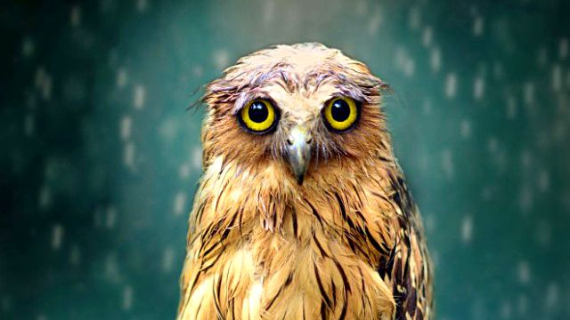 funny-wet-owls14_ea
