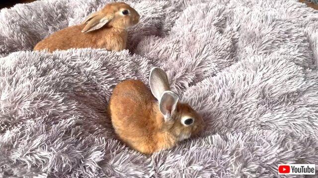 rabbitsngolden2_640