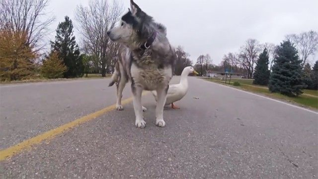 dog-duck-friendship-max-quackers2