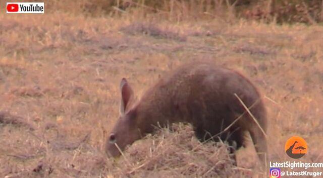 aardvark2_640
