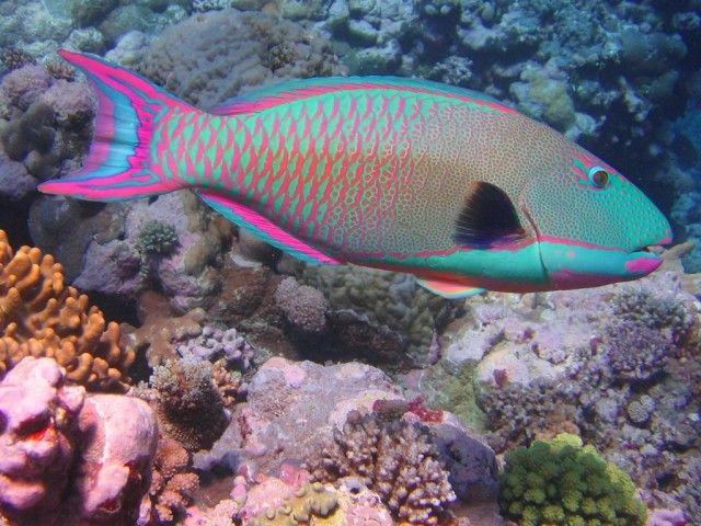 Rainbow-Parrot-Fish_e