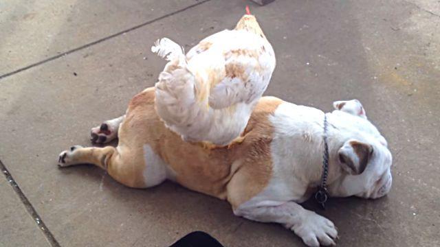 chickenmassage3