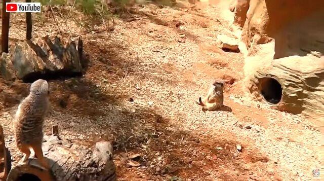 meerkat1_640