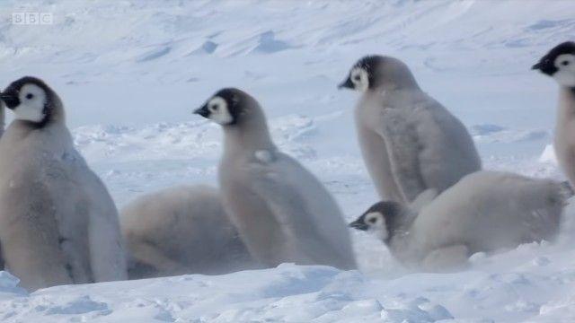 penguinchicks2_e