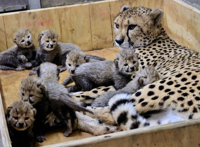 cheetah-eight-cubs-st-louis-zoo-5-5a4f6fd0e95e9__700_e