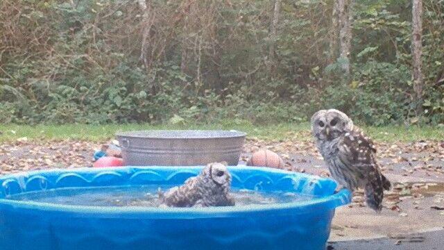 目が合っちゃったもんだから…フクロウたち、水飲み場で突然のファイッ!