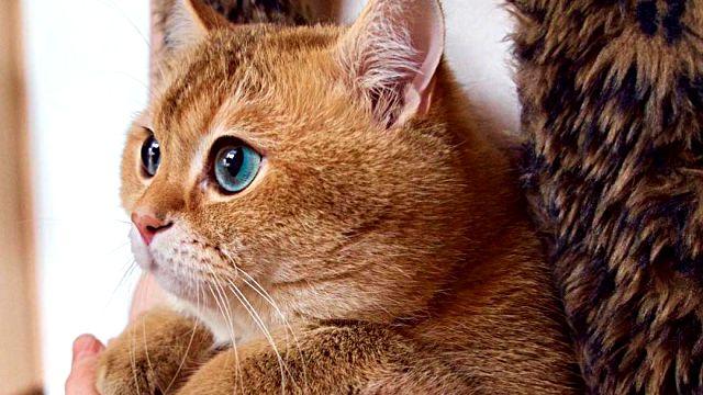 Hosico-Cat-58b921264fe15__880