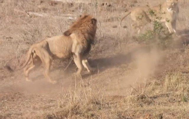 lionhabby2_e