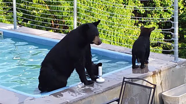 bearinpool4
