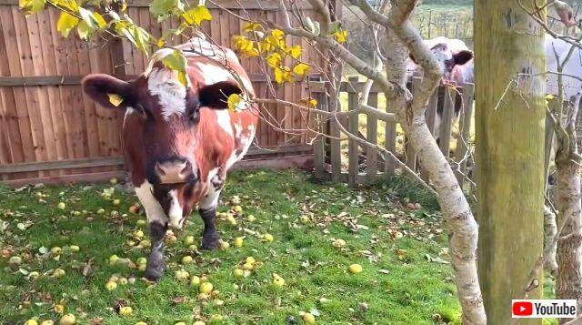 cowsbroke2_640