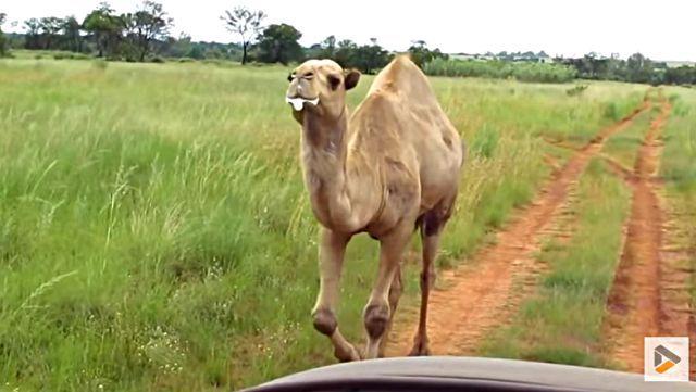 camel0