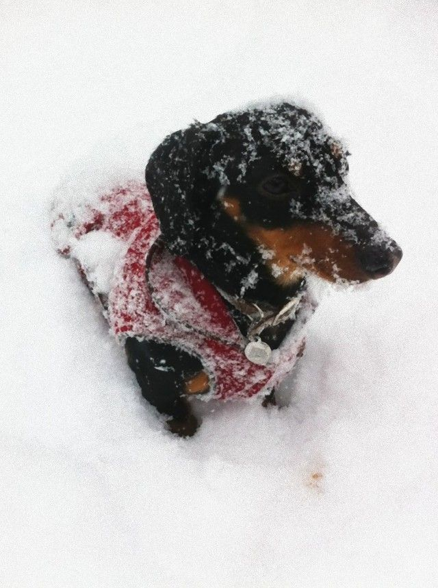 dachshund-in-snow-1-600x804_e