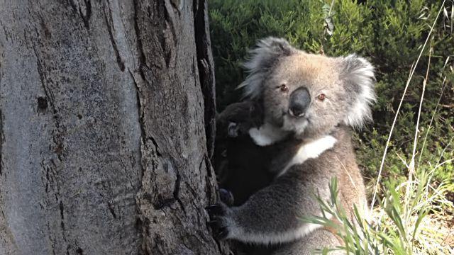 koala8