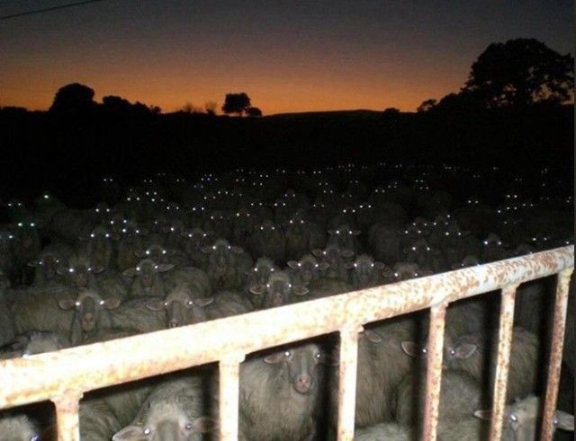 creepy-sheep5_e
