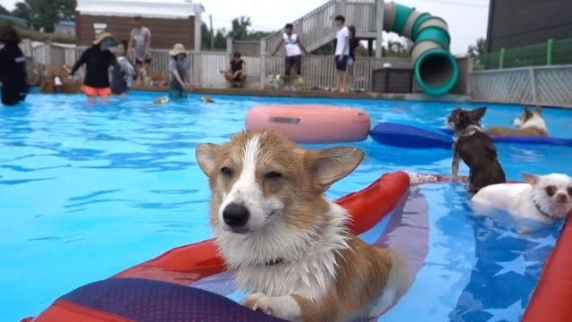 corgiswiming4_e