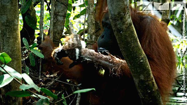 orangutansnsoap3